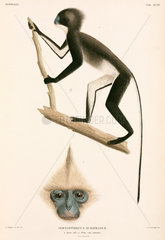 Monkeys  Sumatra  Indonesia  1839-1844.