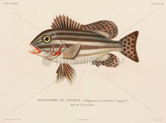Striped fish  (Indonesia)  1822-1825.