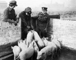 WAAFs feeding pigs  WWII. During the war th