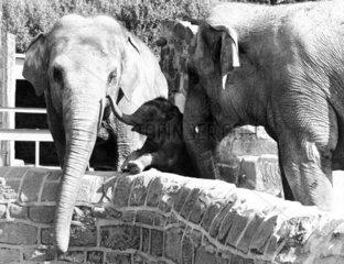 Elephants  Chester Zoo  September 1977.