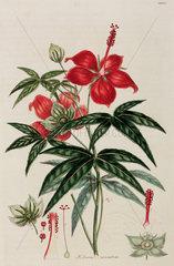 Hibiscus  1776.