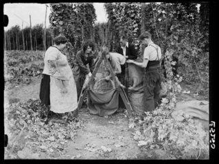 Hop picking  1935.
