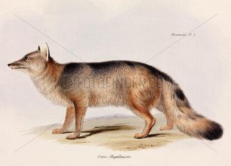 Fox  Chile  c 1832-1836.