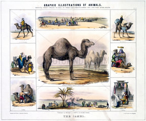 'The Camel'  c 1845.