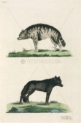 Hyena and wolf  1776.
