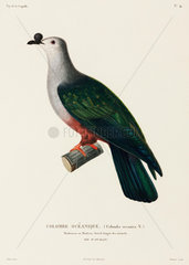 Oceanic dove  Island of Ualan  (Micronesia)  1822-1825.