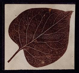 'A leaf'  c 1840-1841.
