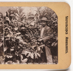 'Jamaica Coffee Tree  Showing Berries'  about 1900 .