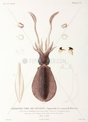 Bigfin Reef Squid or Oval Squid  New Guinea  1822-1825.
