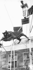 Leaping tiger  1967.