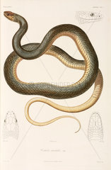 Snake  (Coluber trabalis)  Black Sea area  1837.