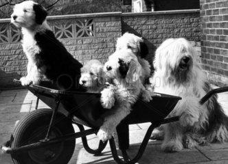 Puppies in a wheelbarrow  May 1978.