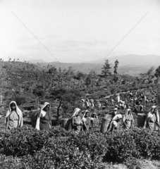 Tea plantation workers plucking tea leaves