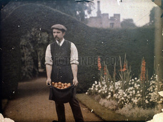 Gardener holding tomatoes in his apron  1900s.