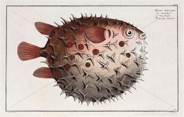 'The prickly Bottlefish'  (Birdbeak burrfish)  1785-1788.
