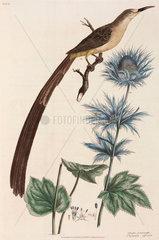 Hoopoe and eryngium  1776.