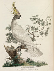 'The Crested Cockatoo'  1789.