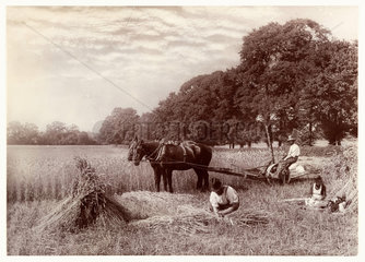 'Machine Reaping in Sussex'  1887.