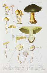 Four types of mushroom  c 1874.