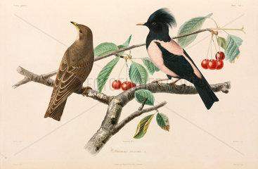 Rose-coloured starlings  Black Sea area  1837.