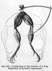 'Contraction of the muscles of a frog'.