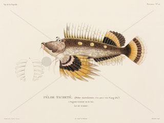 Spiny devilfish  'Island of Waigiou'  (Indonesia)  1822-1825.