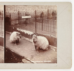 'Capybaras at the Zoo'  c 1895 .