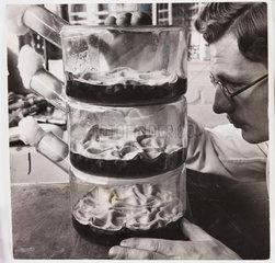Flasks growing penicillin culture  1943.