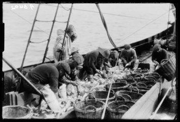 Gutting fish  c 1930.