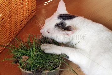 Neuenhagen  Deutschland  Katze frisst Katzengras