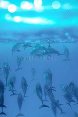 Rotes Meer  Aegypten  Spinner-Delphine bei Sataya Kebir