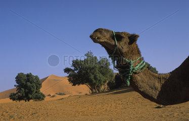 Merzouga  Marokko  Dromedar in den Sandduenen