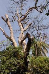 Abuko  Gambia  im Abuko-Naturschutzgebiet