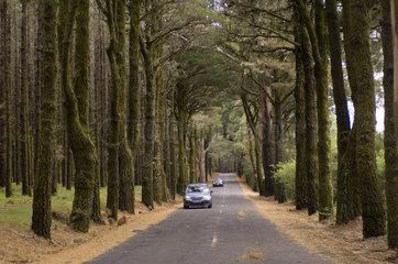 La Orotava  Spanien  Strasse durch einen dichter Wald im Bergland