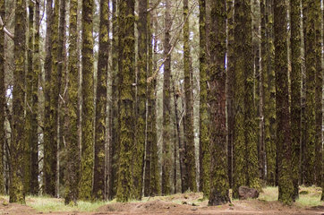 La Orotava  Spanien  dichter Wald im Bergland