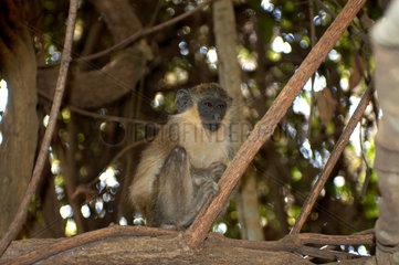 Abuko  Gambia  Gruene Meerkatze im Abuko-Naturschutzgebiet