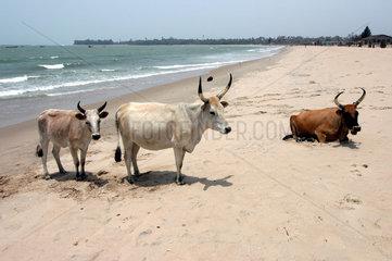Sanyang  Gambia  Kuehe am Strand