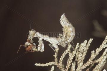 Ameles spallanzania eating