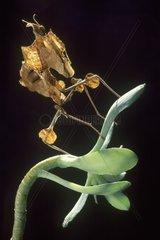 Devil mantis -Idolomantis diabolica on plant