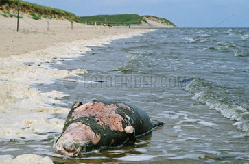 Toter Robbenbulle am Strand