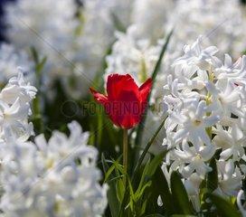 weisse Hyazinthen  Hyacinthus