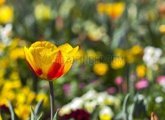 gelbrote Tulpe  tulipa
