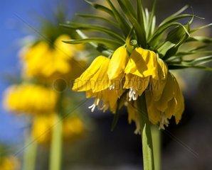 gelbe Kaiserkrone  Fritillaria imperialis