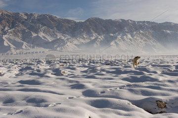 Tashkorgan  Schneelandschaft mit Hund | Tashkorgan  snowy landscape with dog