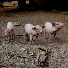 Baoting  Schweine