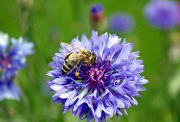 Biene mit Pollen an den Hinterbeinen auf einer Kornblume