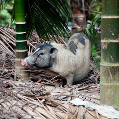 Baoting  Schwein
