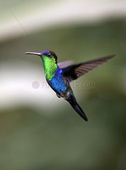 Kolibri in Costa Rica