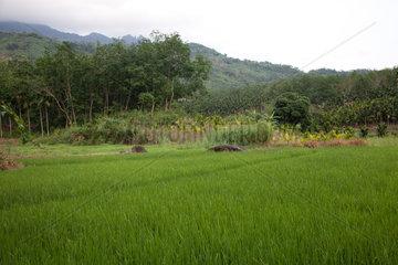 Baoting  Reisanbau