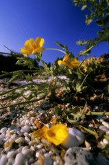 Italy  Sardinia  Alghero  Poppy (Glaucium flavum)